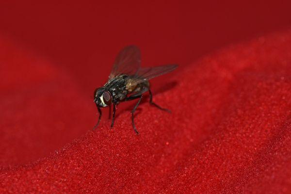Kırmızı ve koyu renk sinekleri çekiyor